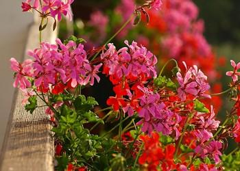 Цветы для балконных ящиков