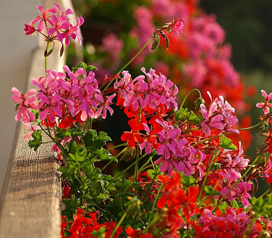 Цветов для балконных ящиков