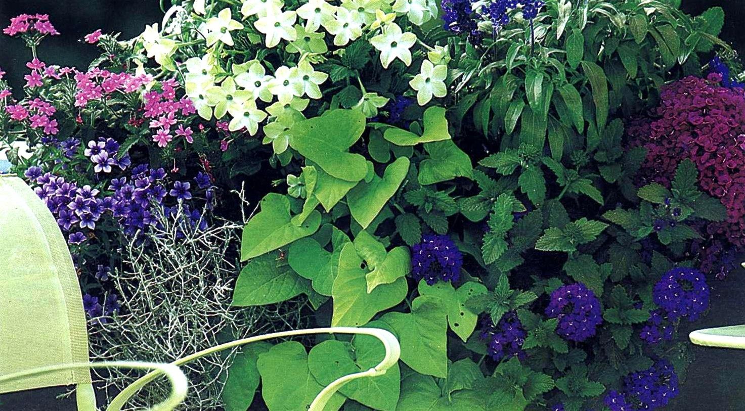 схема посадки цветов петунья