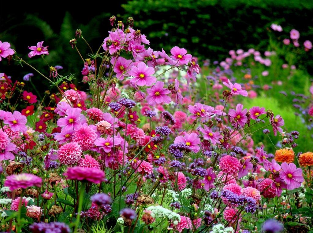 Цветы садовые для клумб фото с названием