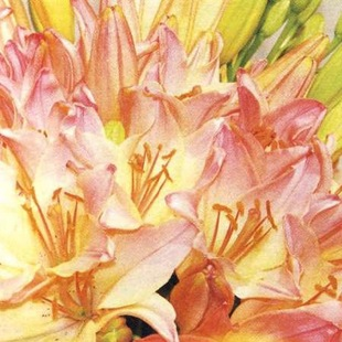 Фасциация лилии