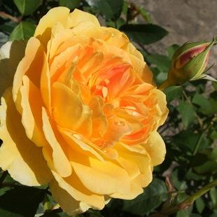Роза 'Molineux'