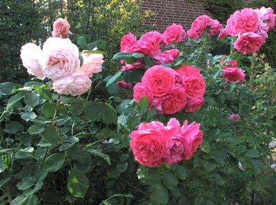 Роза 'Rosarium Uetersen'