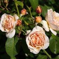 Розы 'Sweet Juliet'