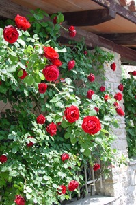 Роза 'Sympathie'