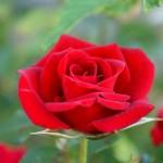 Розы в саду – упоительная романтика