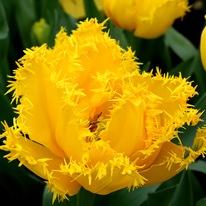 Желтый махровый тюльпан