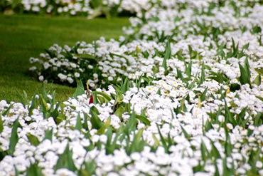 Белые цветы в саду - маргаритки