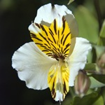 Альстремерия белая с желтым