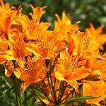 Альстремерии оранжевые