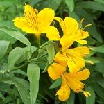 Альстремерия желтая