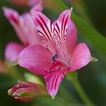 Альстремерия розовая