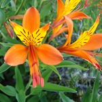 Альстремерия оранжевая