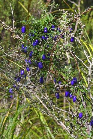 Биллардиера длинноцветковая