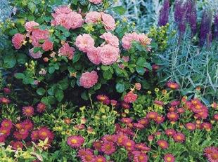 Розы, вероника и мелколепемтник в миксбордере