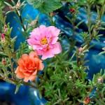 Неприхотливые цветы для летних балконов