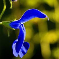 Шалфей отклоненный Salvia Patens