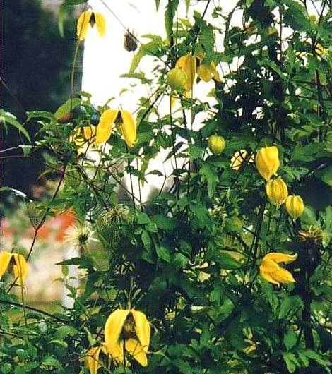 Посадка клематисов весной и осенью  FloweryValeru