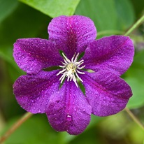 Клематис фиолетовый