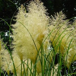Кортадерия - пампассная трава