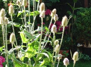 Ворсянка в саду