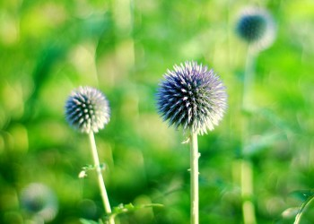 Мордовник - колючки для сада