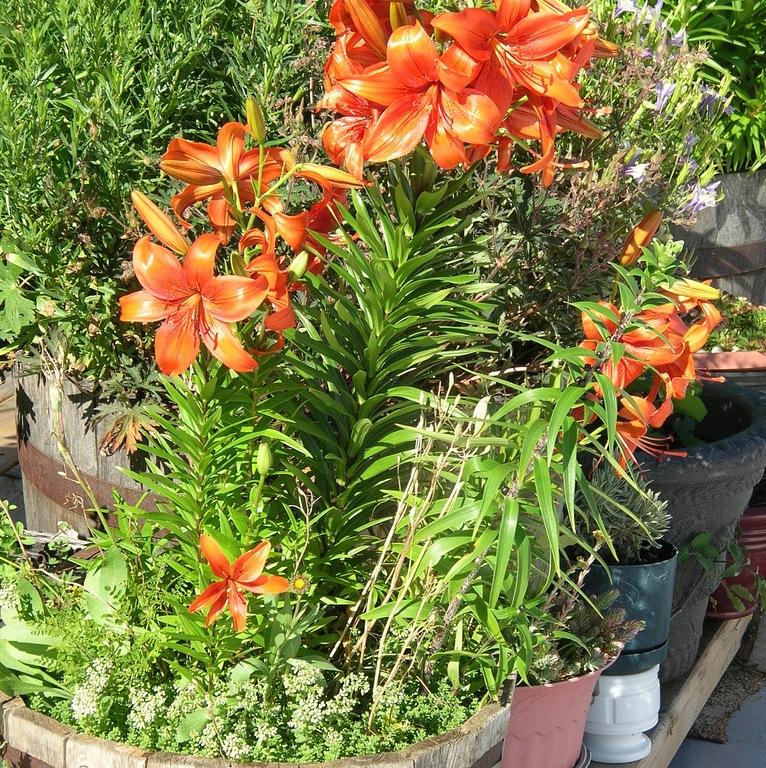 Выращивание и уход за лилиями на даче 84