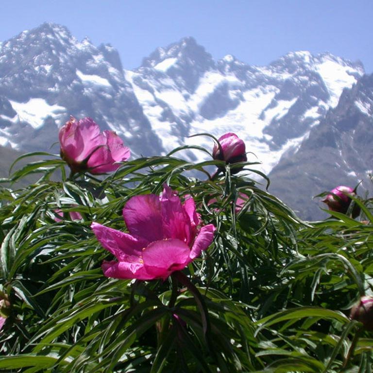 Цветы марьин корень — img 4