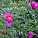 Пион Марьин корень – что за растение?
