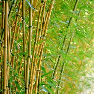 Бамбук Листоколосник
