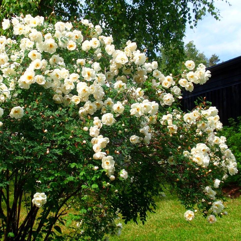 Фото куст шиповника с цветами