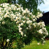 Роза бедреицеволистная