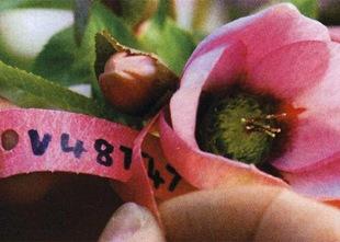 Гибридизация - маркировка растения