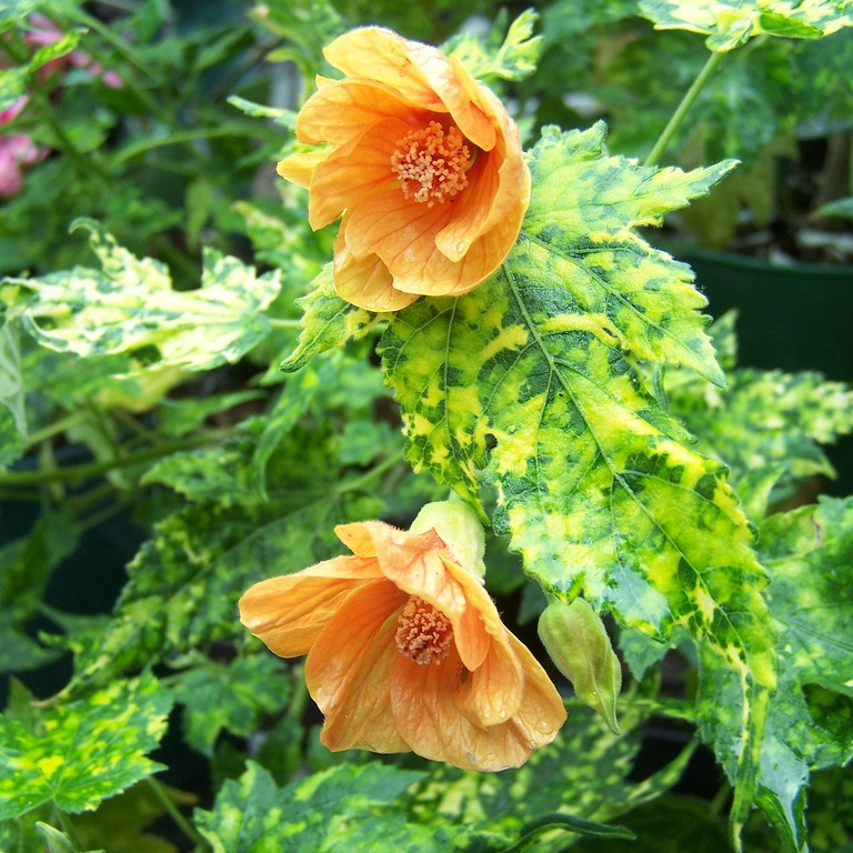 Комнатный цветок абутилон
