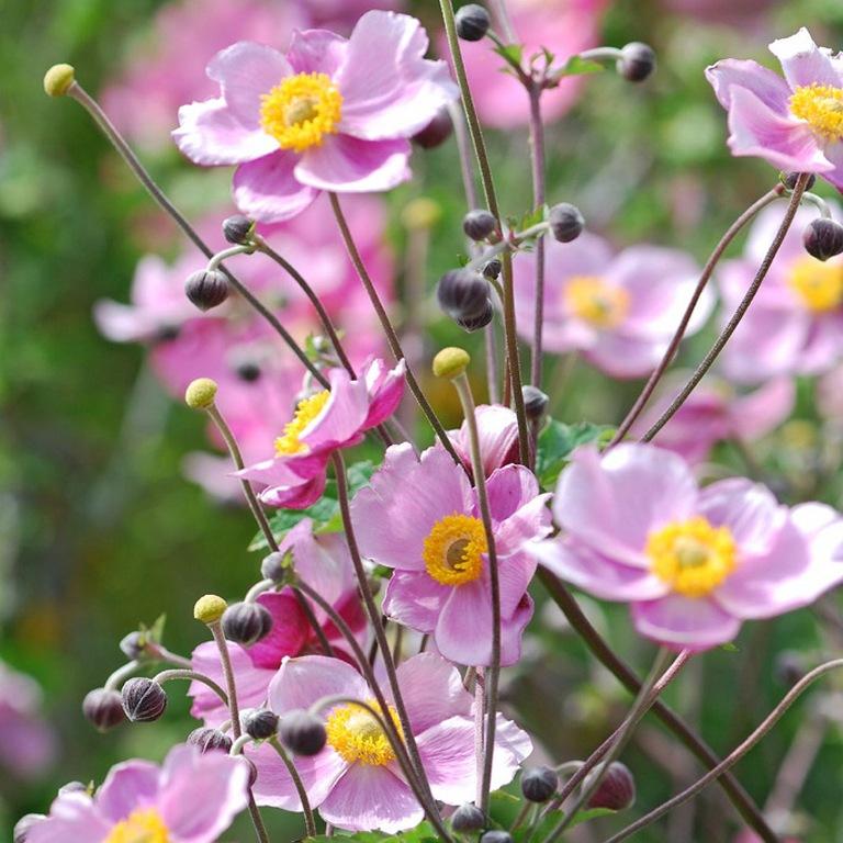 адонис фото цветы