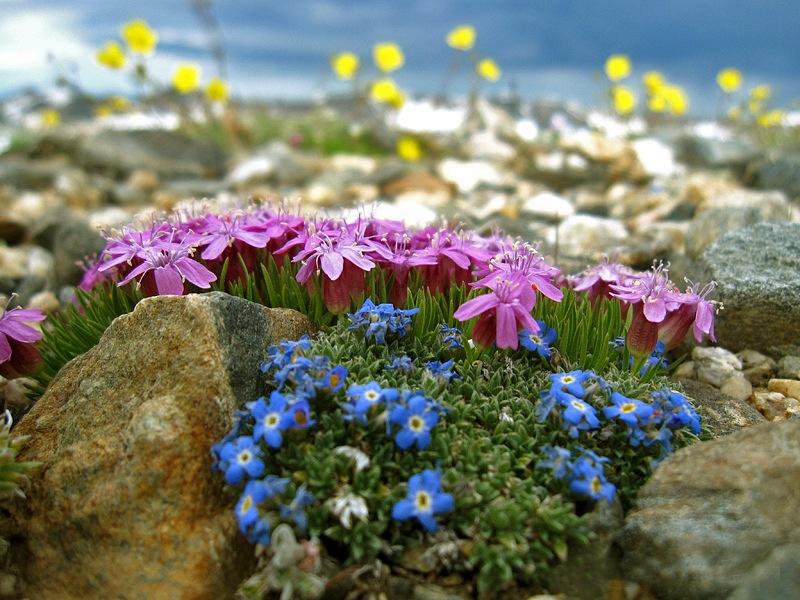 Цветы для альпийской горки купить москва цветы на заказ в электростали