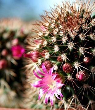 Кактус - язык цветов