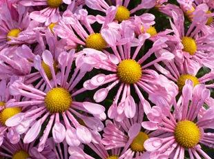 Дендратема, осенняя хризантема