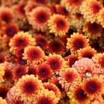 Хризантемы осенние