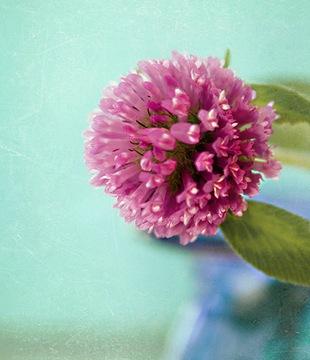 Клевер - язык цветов