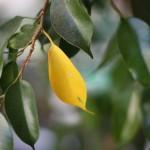 Фикус: почему желтеют листья?