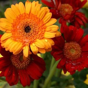 Гербера  - язык цветов