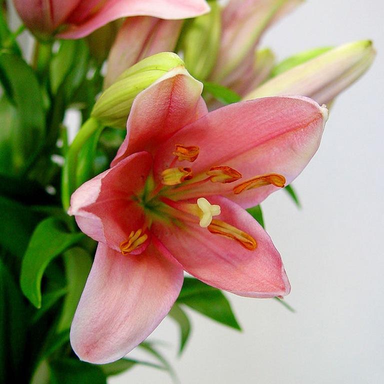 Что означает на языке цветов лилия