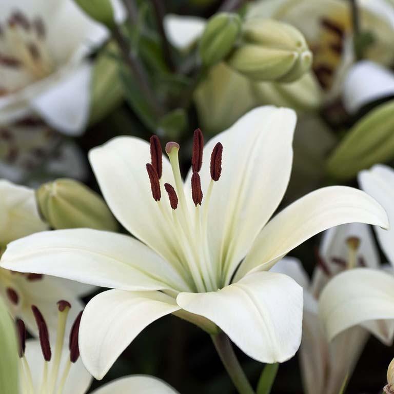 Значение цветы лилии