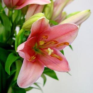 Лилия  - язык цветов
