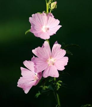 Мальва  - язык цветов