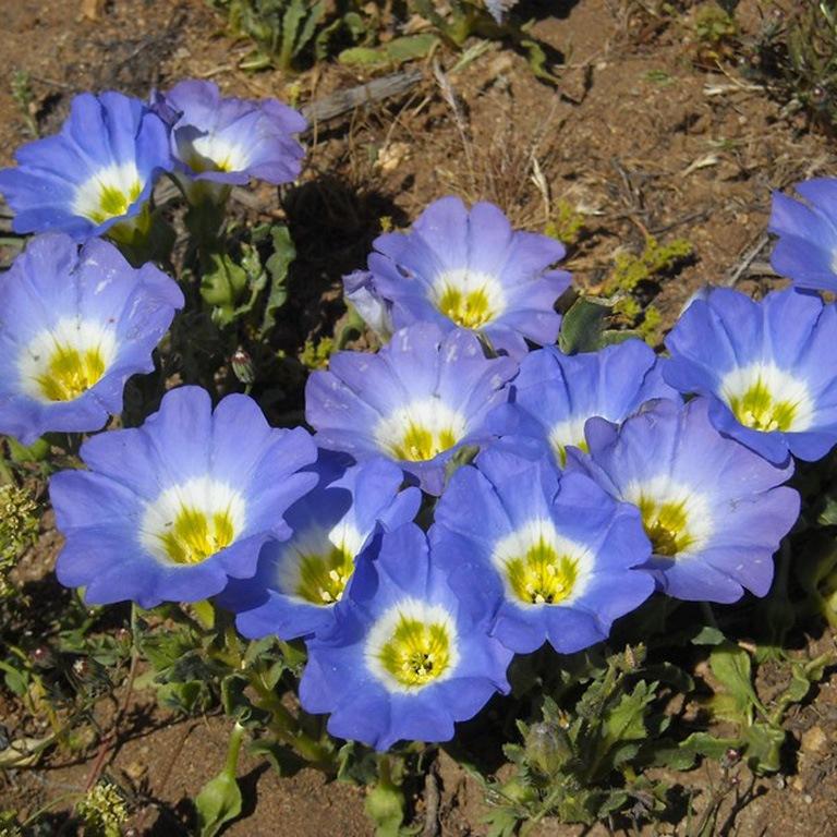 Нолана цветов