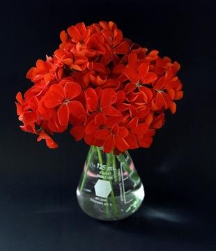 Пеларгония в вазе