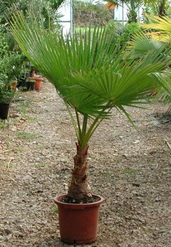 Пальма вашингтония в домашних условиях выращивание из семян 65