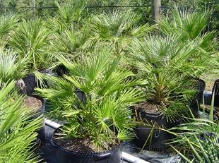 Пальмы вашингтонии